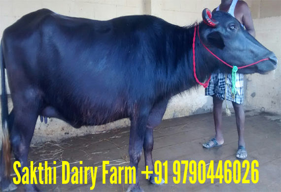 Sakthi Dairy Farm in Karur, hf cow and jersey cow for sale